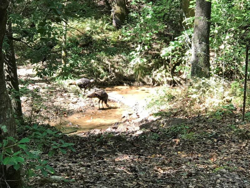 Turkey in Creek